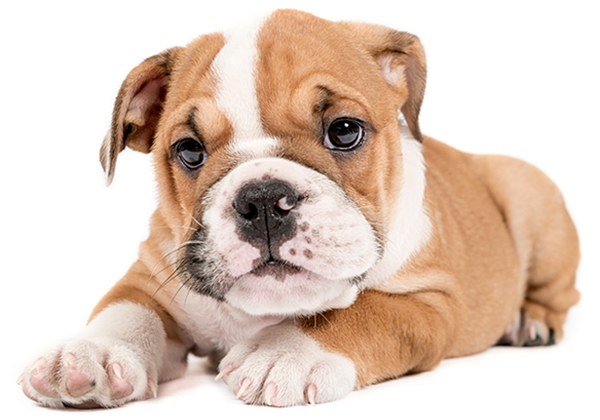 baby bulldog puppy who needs dog training classes - healthy tails academy